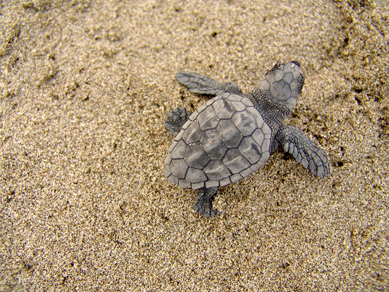 Hatching baby turtles on Patara beach